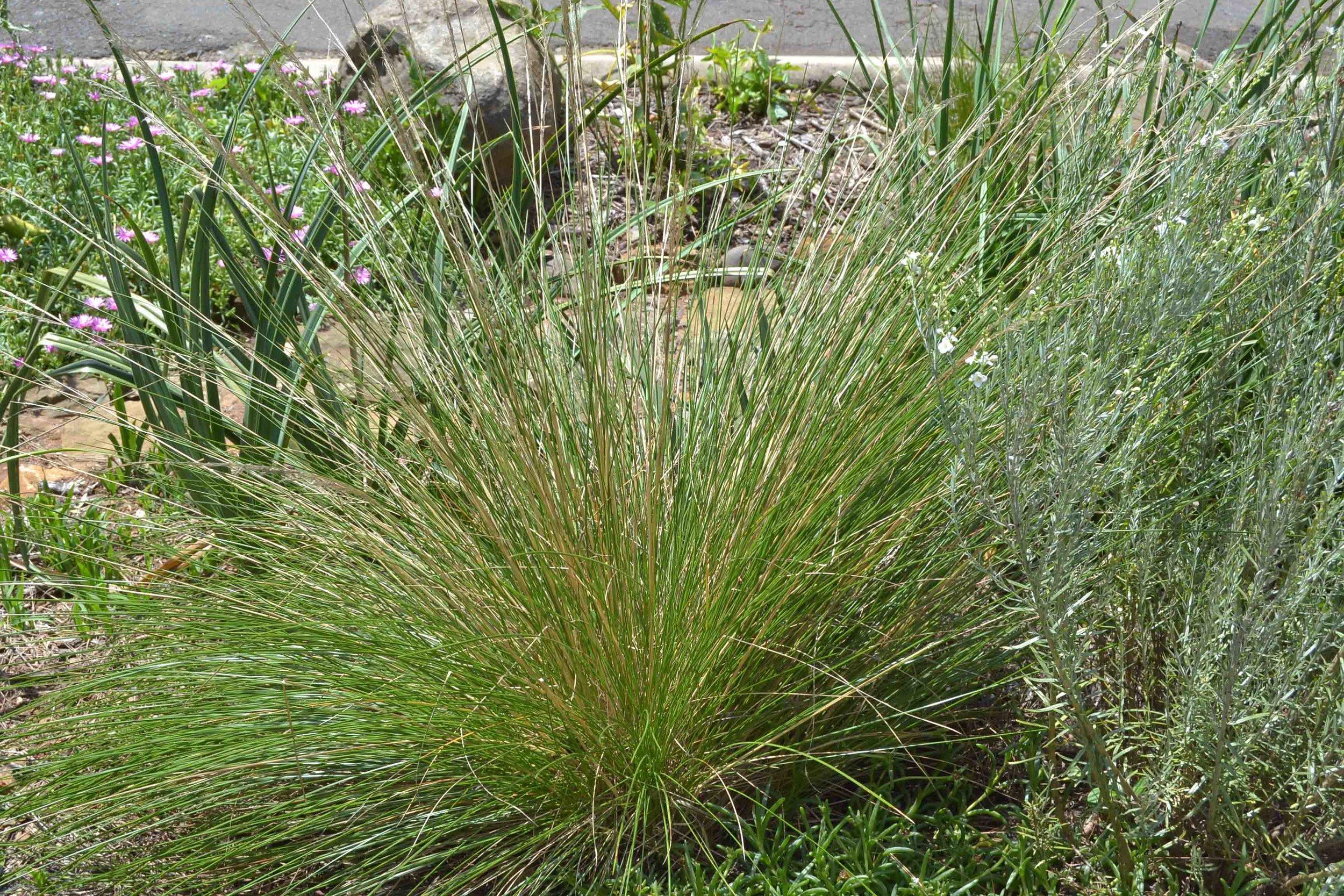 Merxmuellera macowanii  - beautiful ornamental grass ( Gomphostigma  on Right)