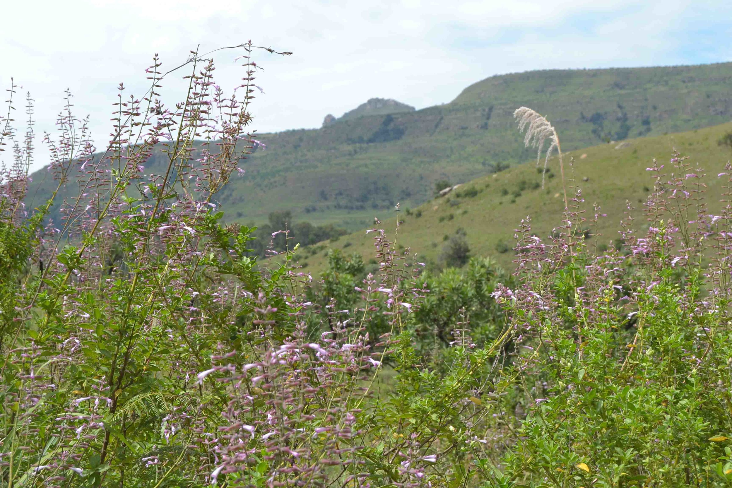 Syncolostemon macratnhus  - tall purple pink flowering shrub