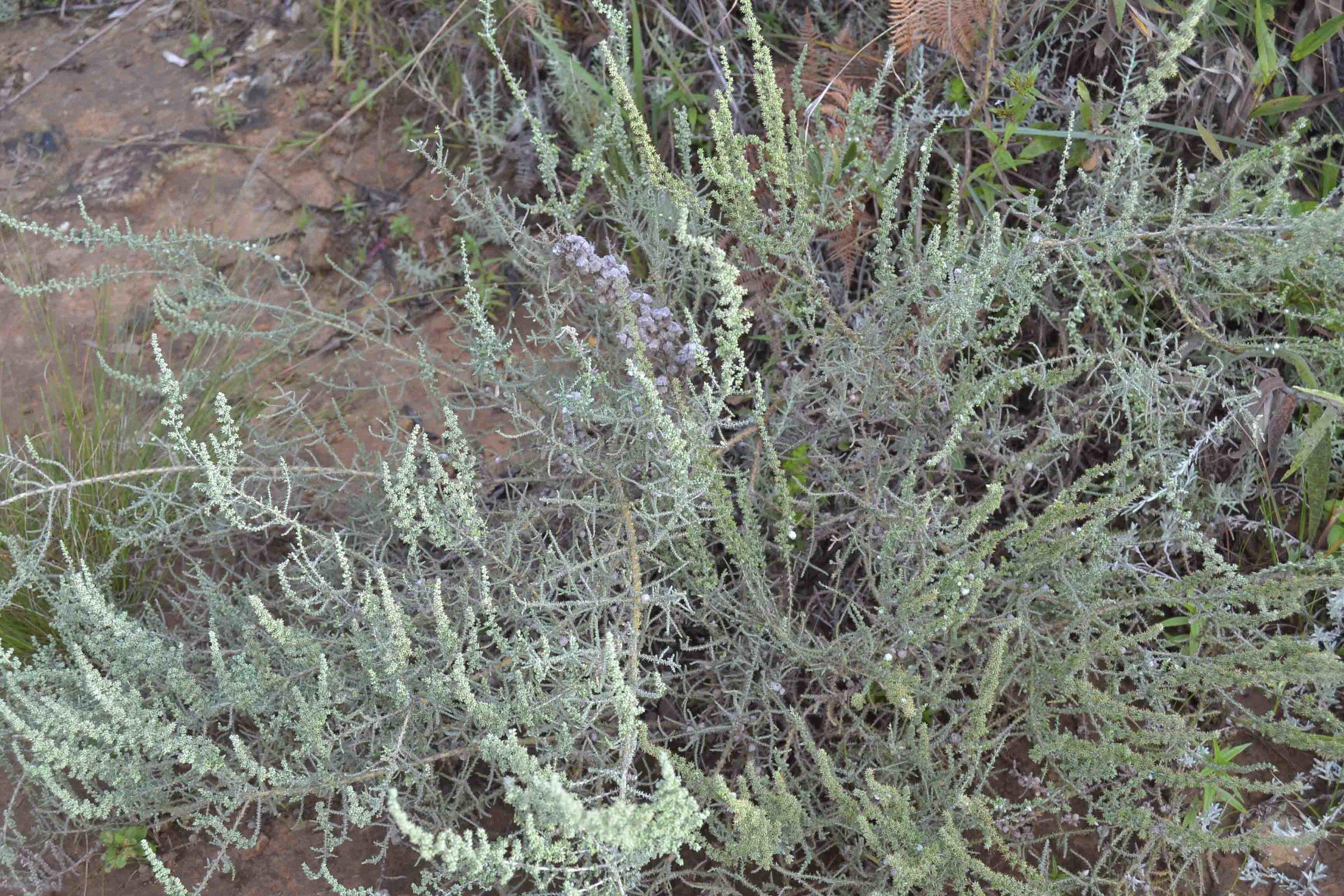 Seriphium plumosum  (Bankrotbos) also known as  Stoebe plumosa