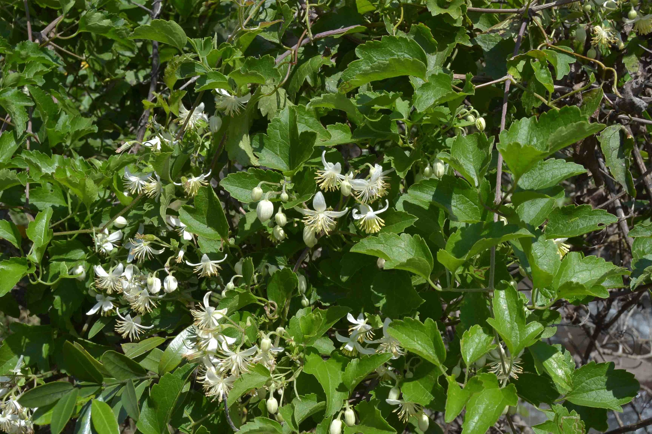 Clematis bracteata  (Travellers Joy) - beautifully scented dainty white flowers make this an ideal creeper