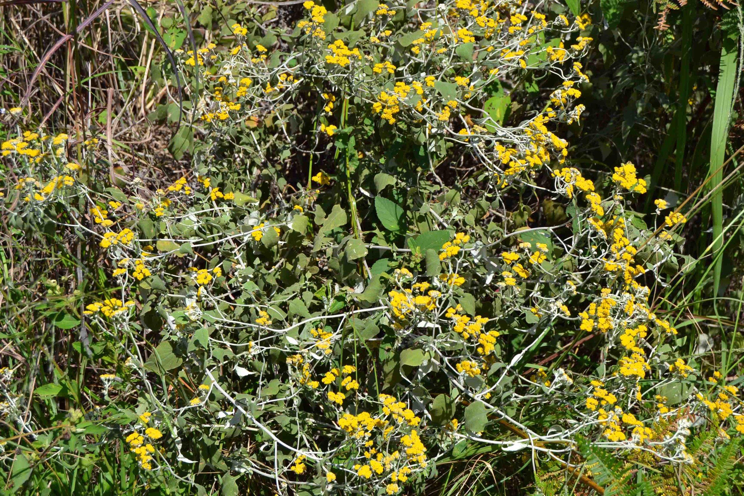 Helichrysum hypoleucum  - likes a bit of shade