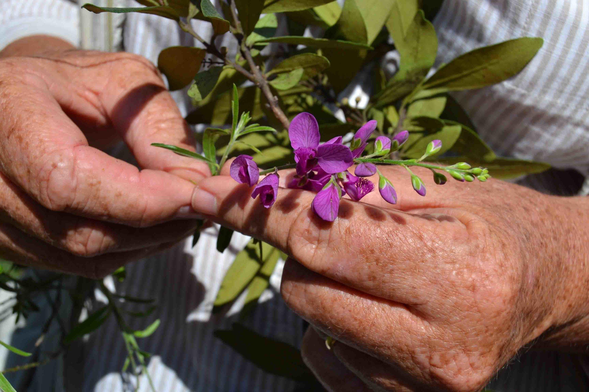 Polygala virgata  (Purple Broom)