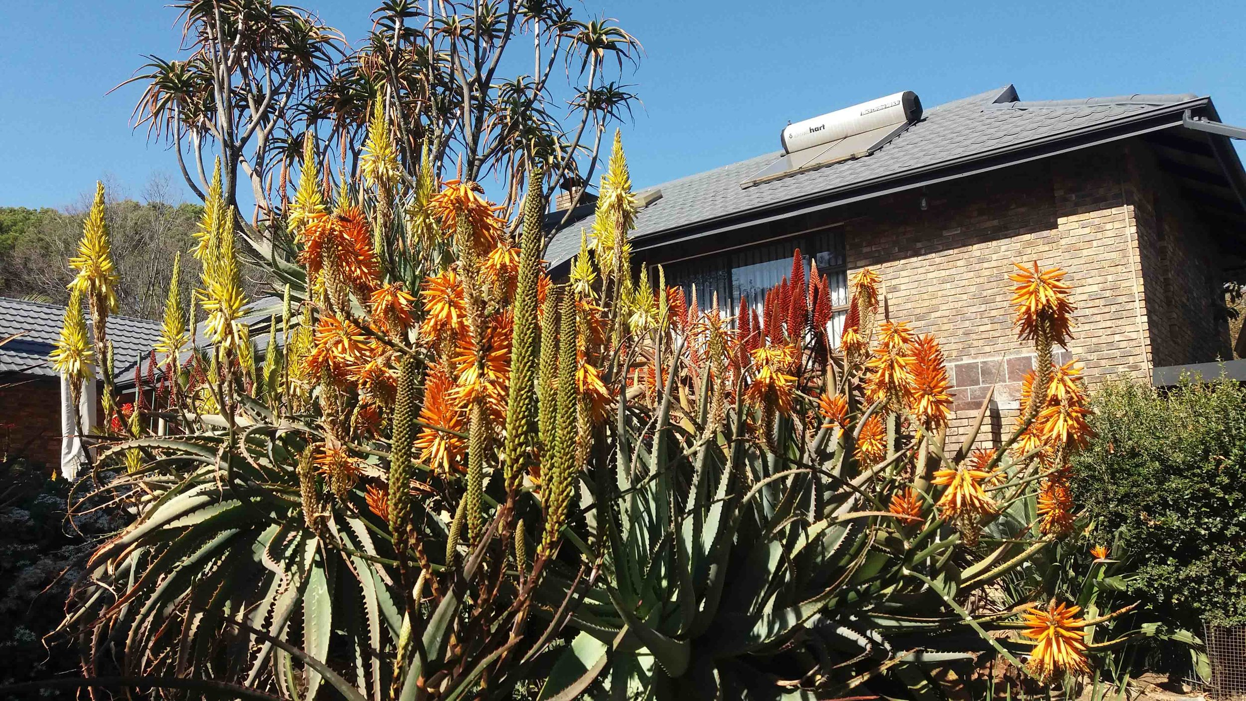 Aloe garden at Vine Street Nursery in Ferndale