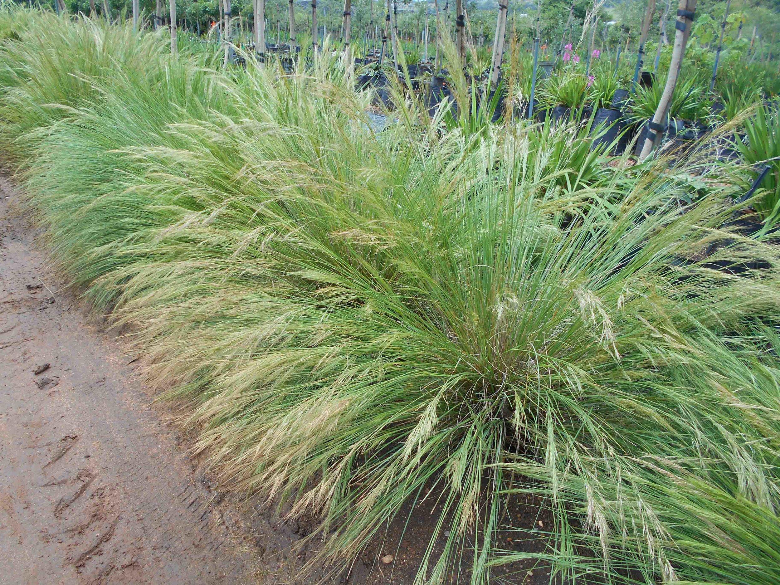 Aristida junciformis - Three Awn Grass - Soft Texture