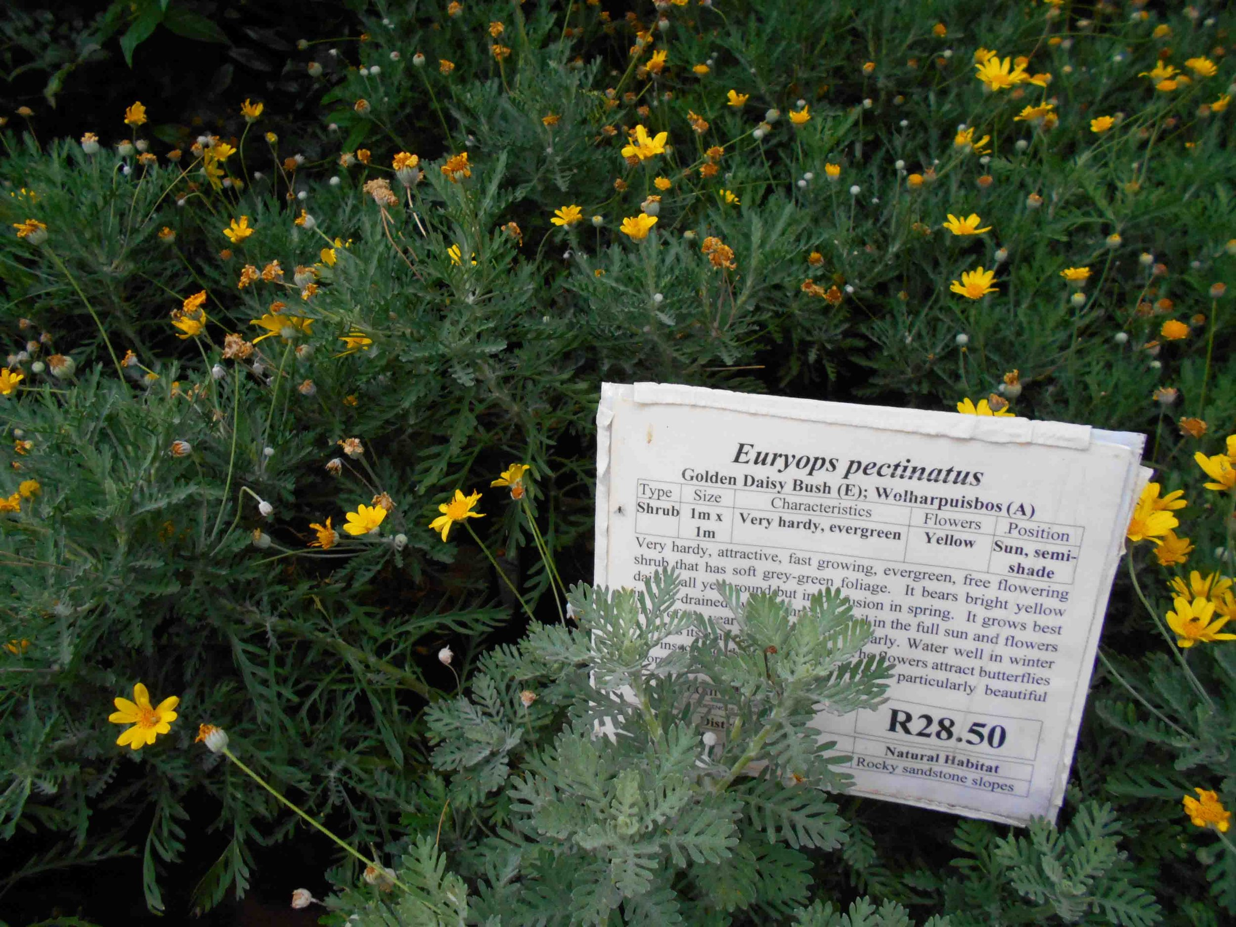 Euryops pectinatus - Golden Daisy Bush. Grey-Green Foliage