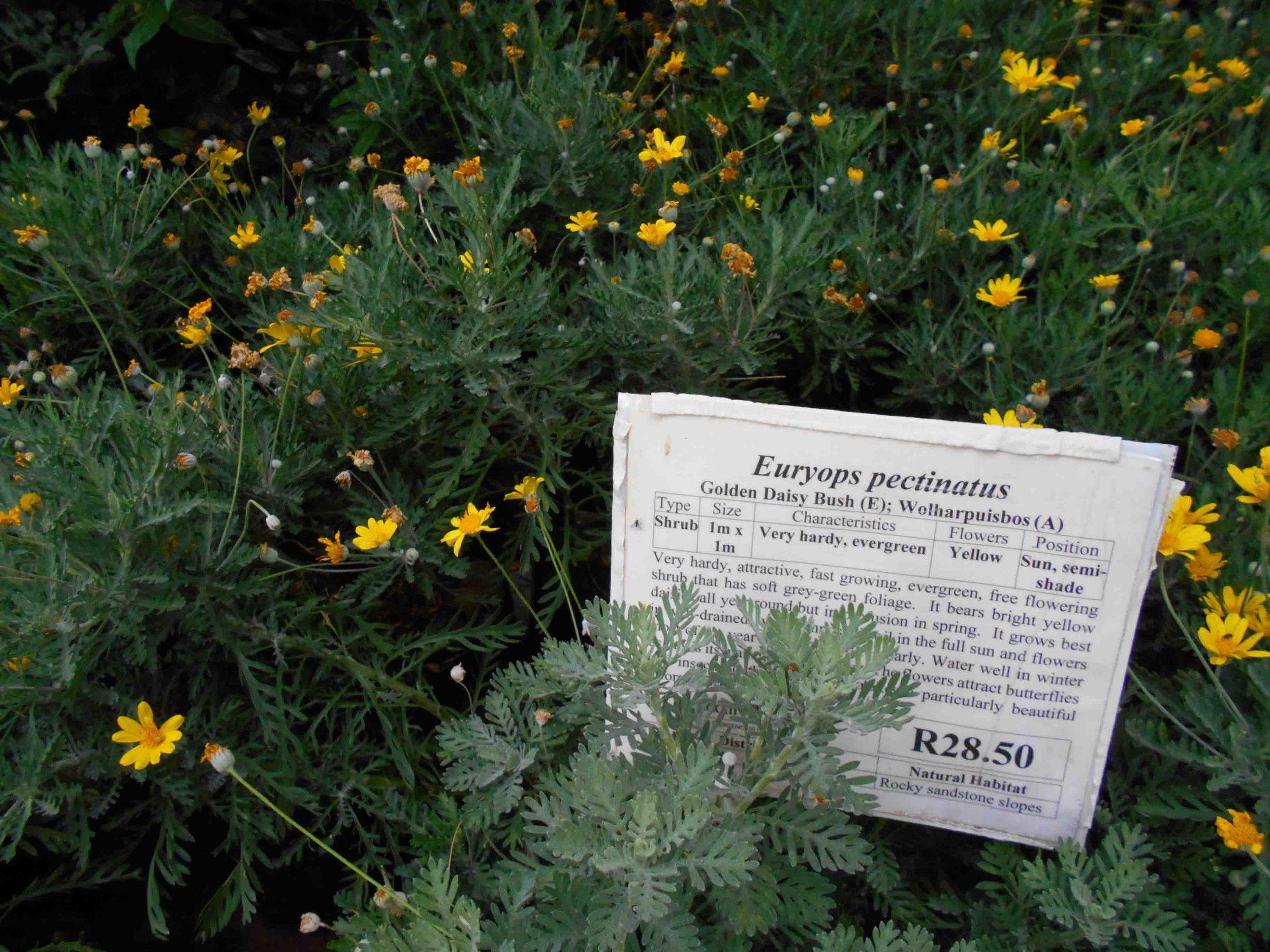 Euryops pectinatus - Golden Daisy Bush. Grey-Green Foliage