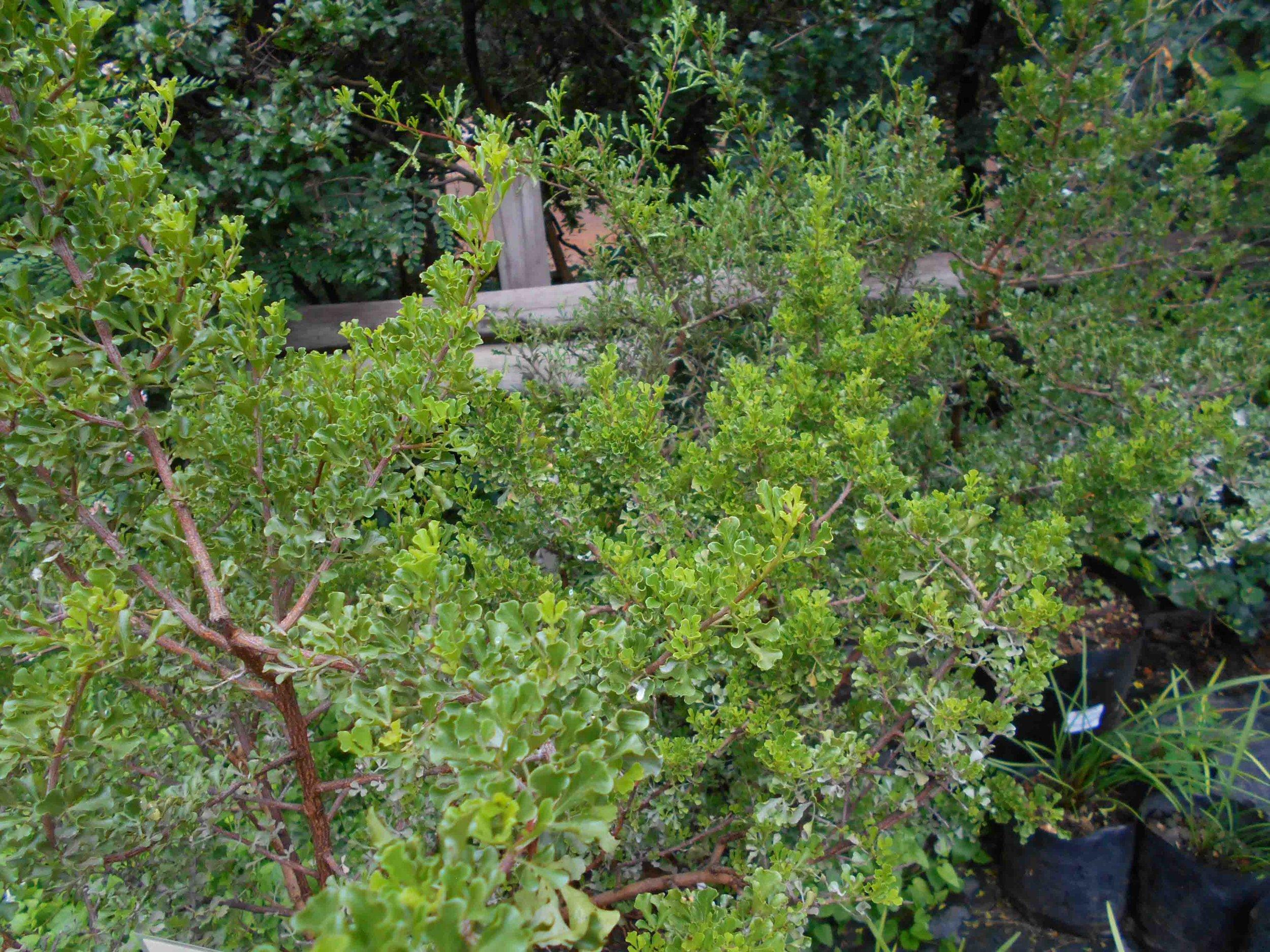 Rhus burchellii - don't you love that curved leaf?