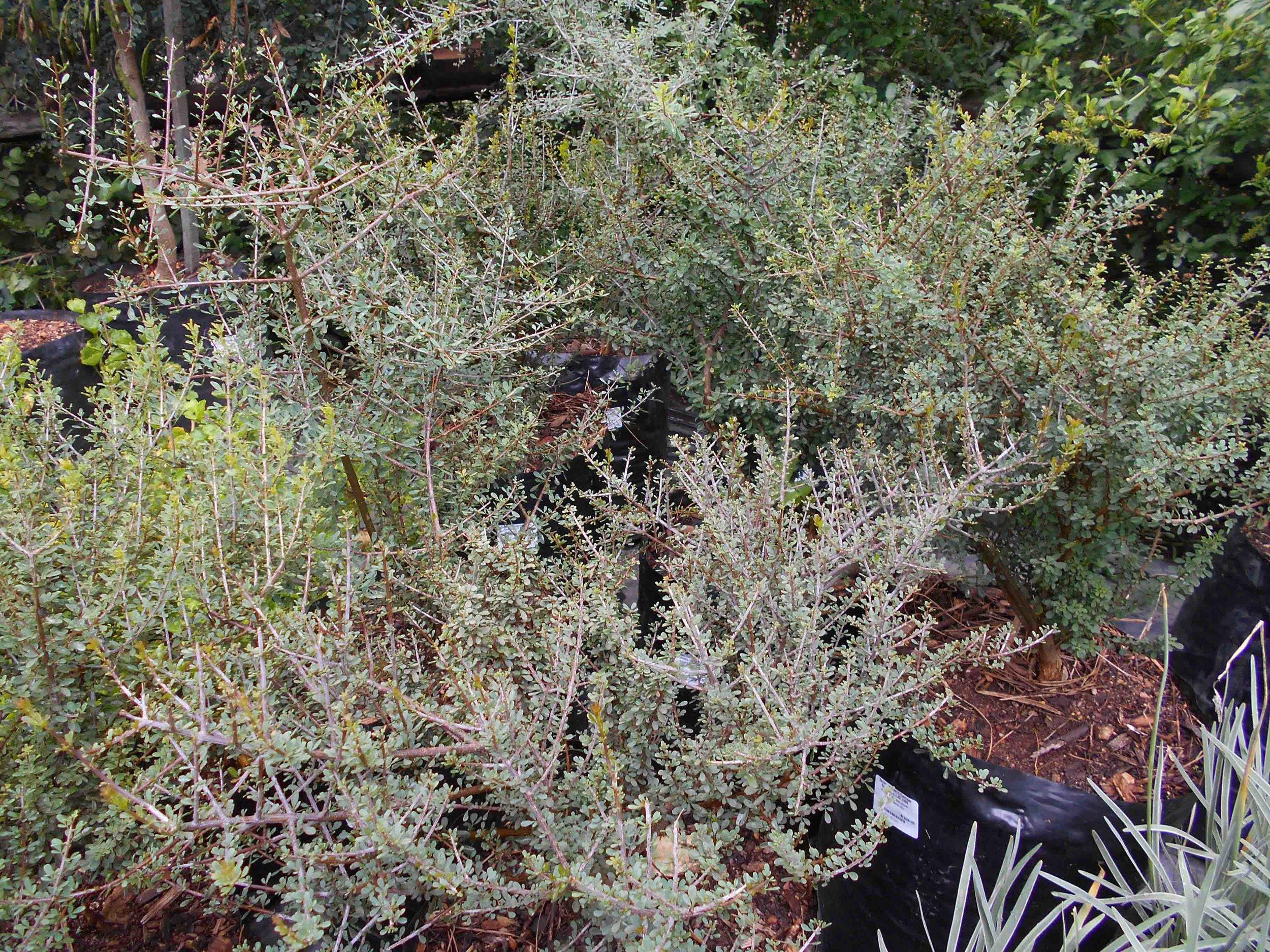 Rhigozum obovatum - tiny grey leaves