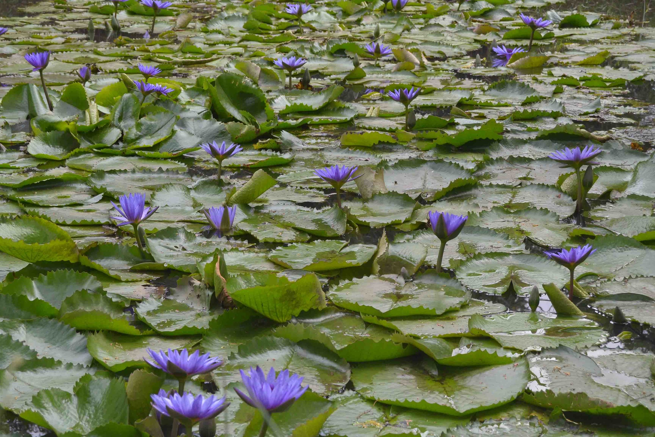 Water Lilies on a Pond at the Lowveld Botanical Gardens