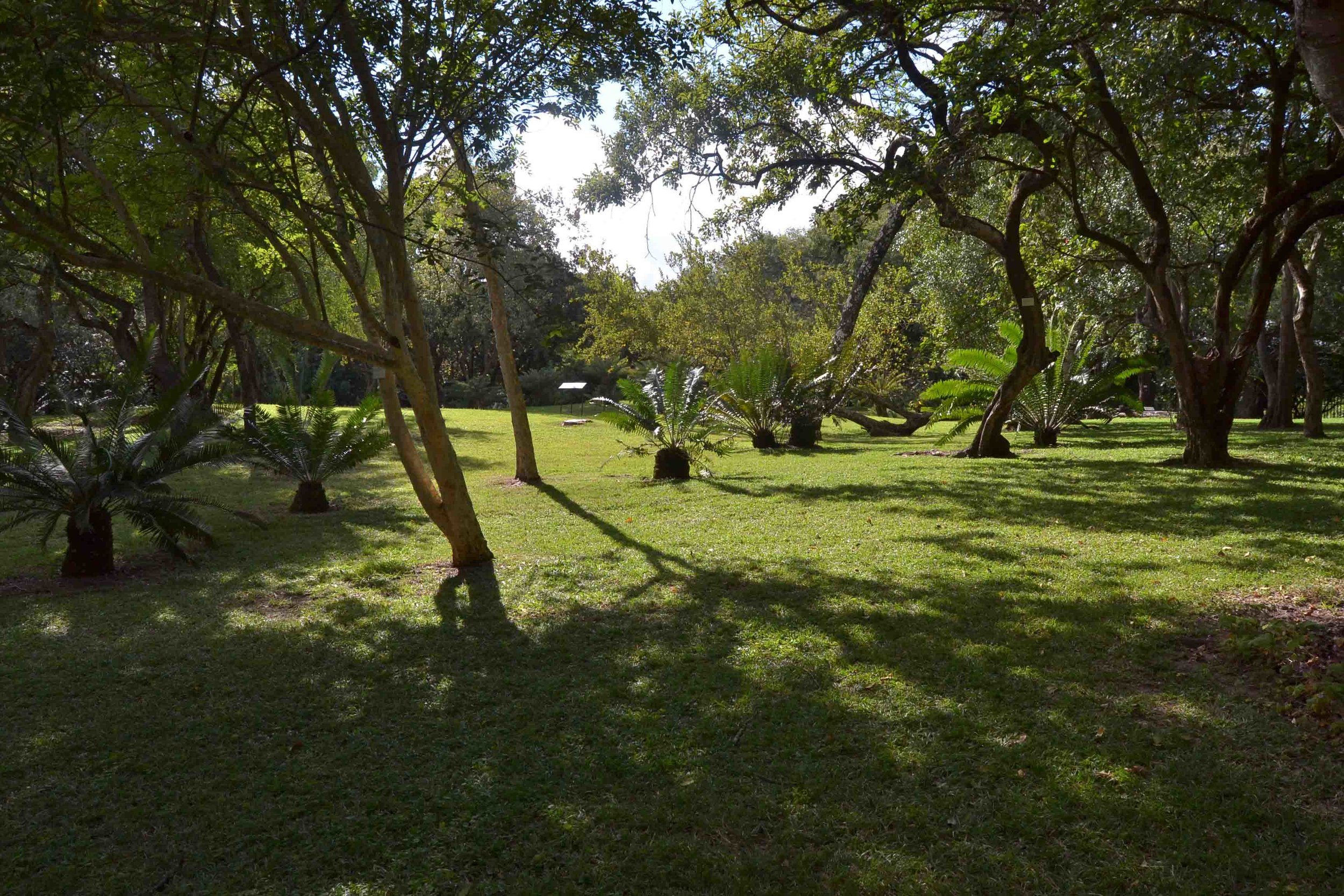 Large areas of Lawn with Cycads and Trees