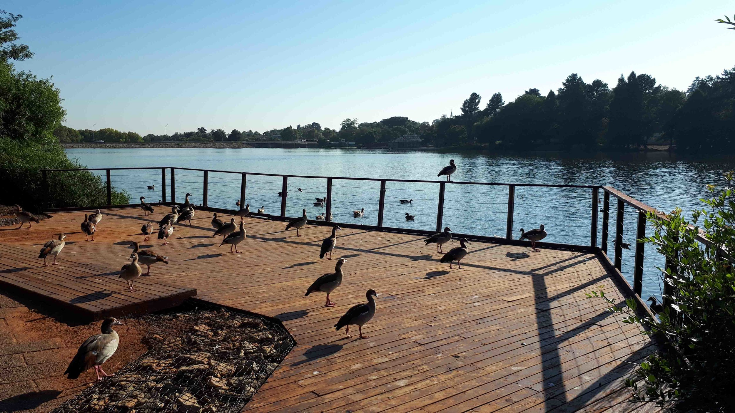 Egyptian Geese on Emmarentia Dam