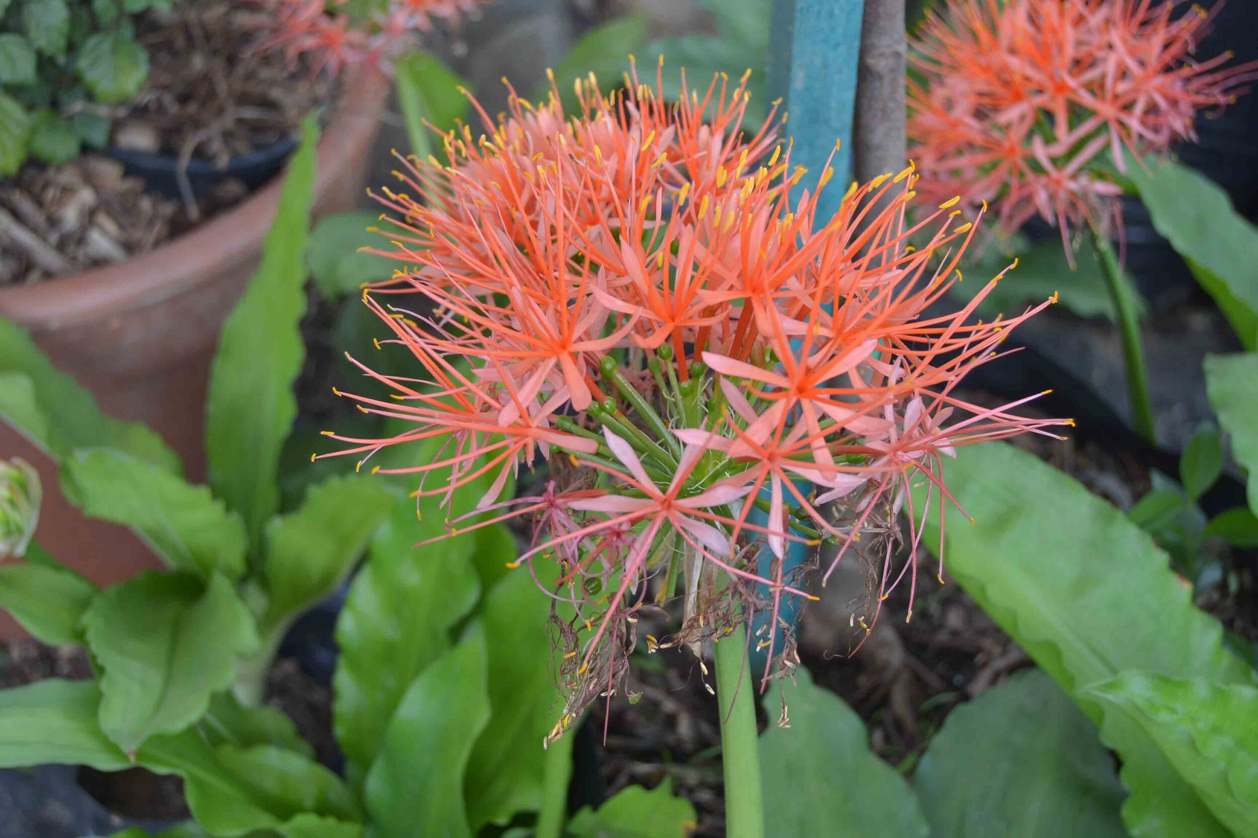Scadoxus 'Katherinae' (Paint Brush Lily)