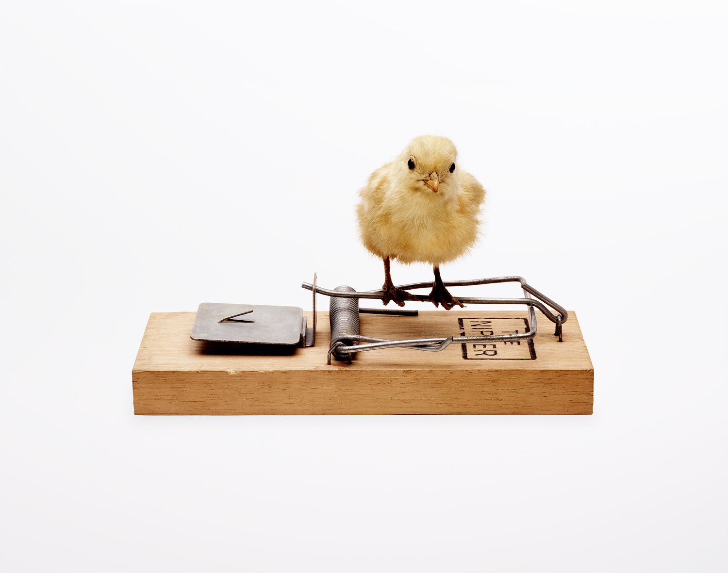 Chick on Moustrap