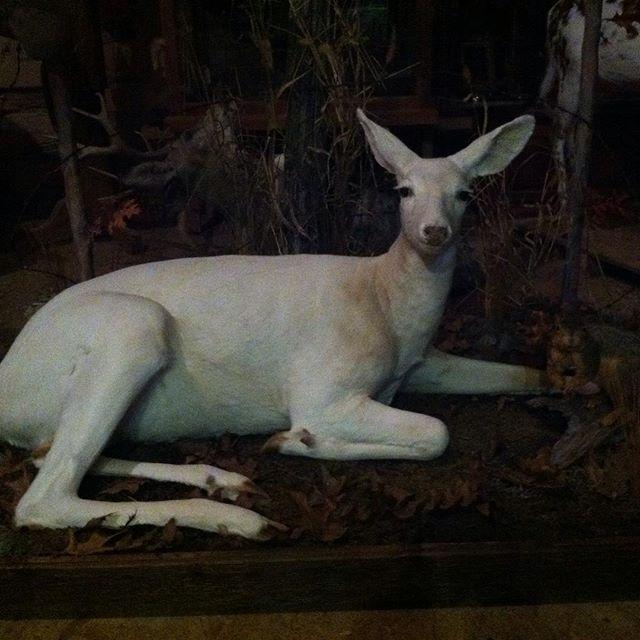 White doe#hunting #taxidermy #deer #