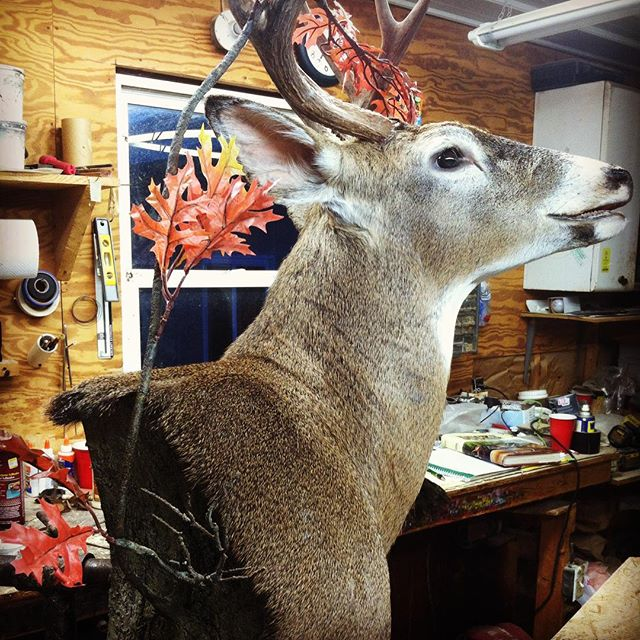 Hunting #taxidermy#deer #just finished open mth buck working a branch
