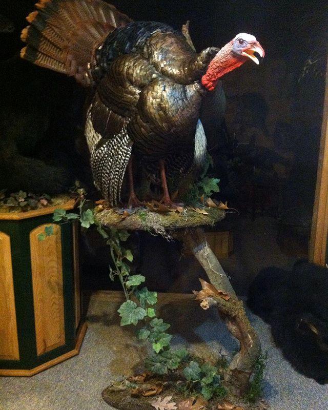 #turkey ##hunting #taxidermy #spring