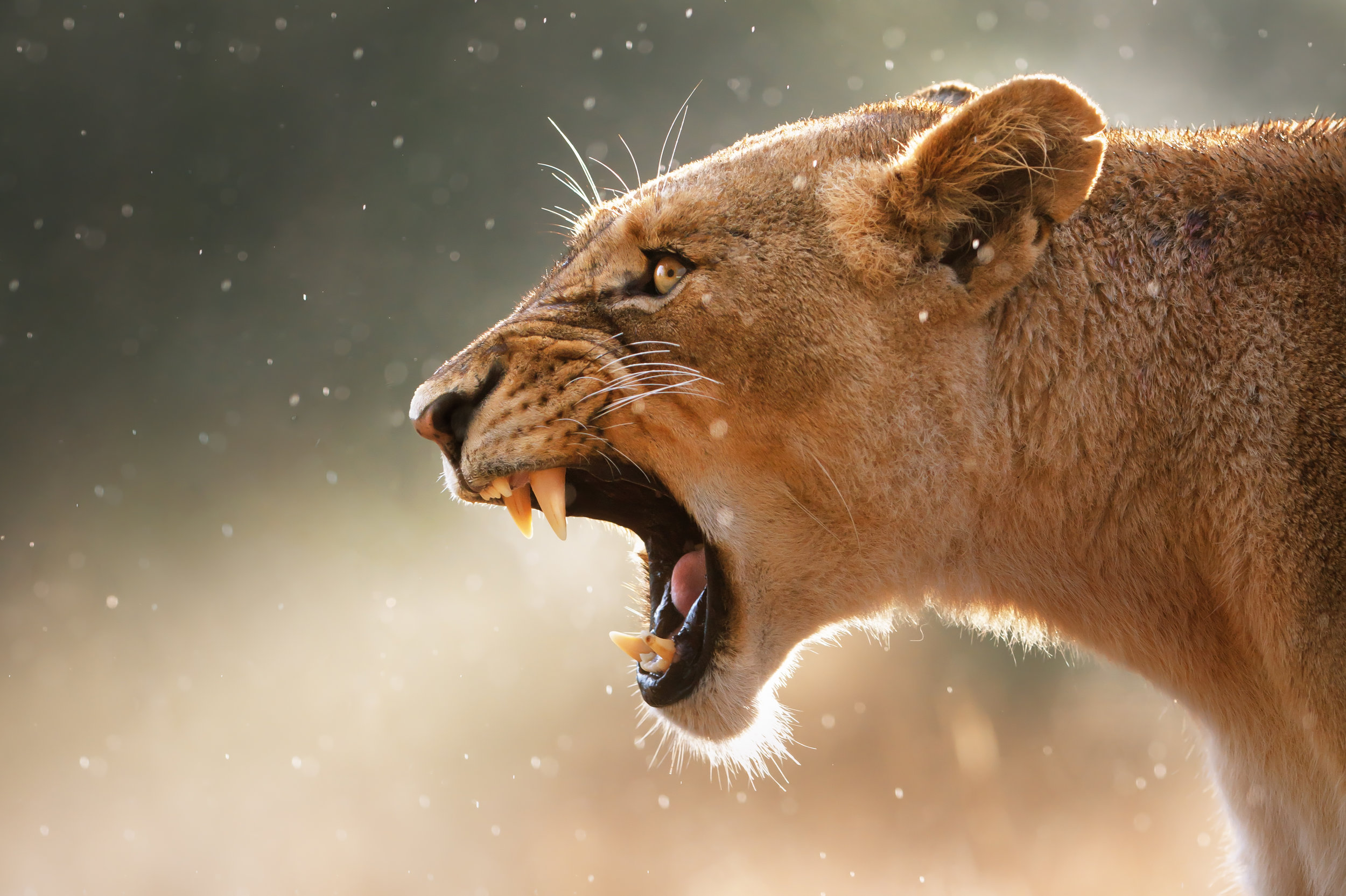 015080jj-lioness-teeth.jpg