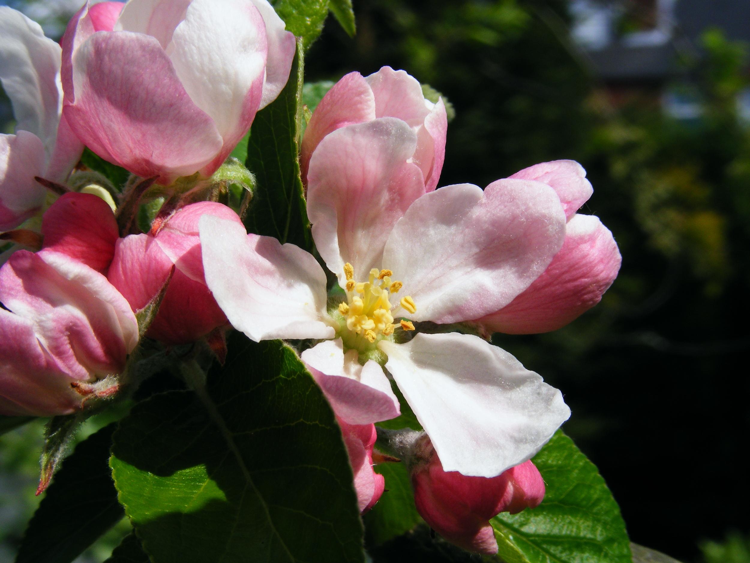 Apple_blossom_01.jpg