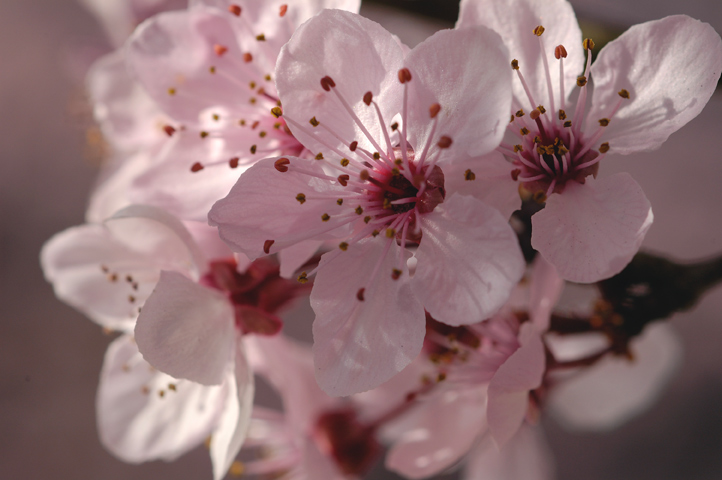 Cherry blossom pictures..jpg