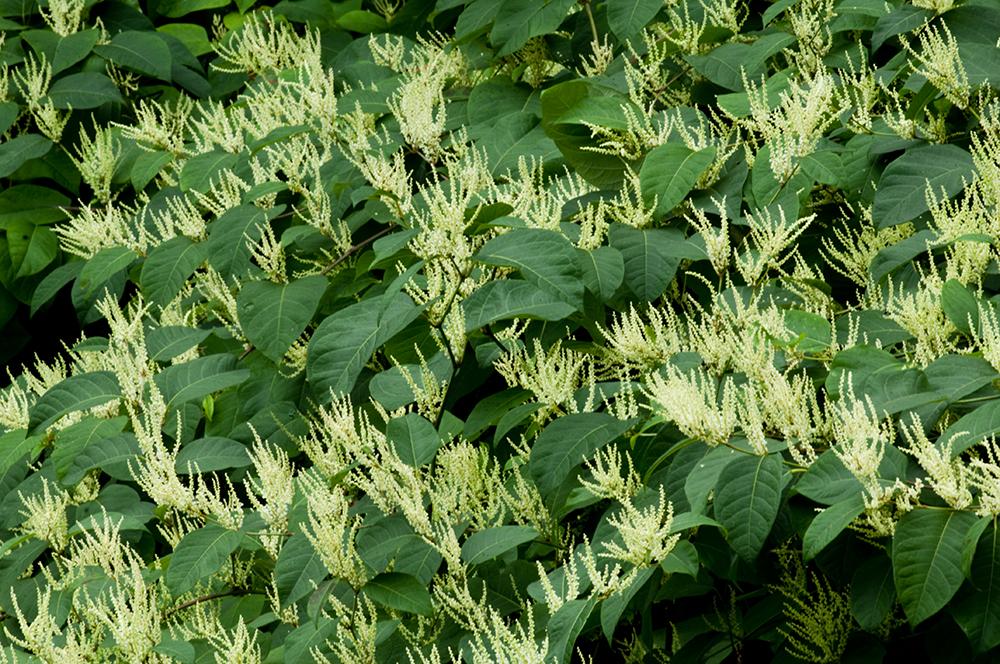 japanese knotweed flower2.jpg