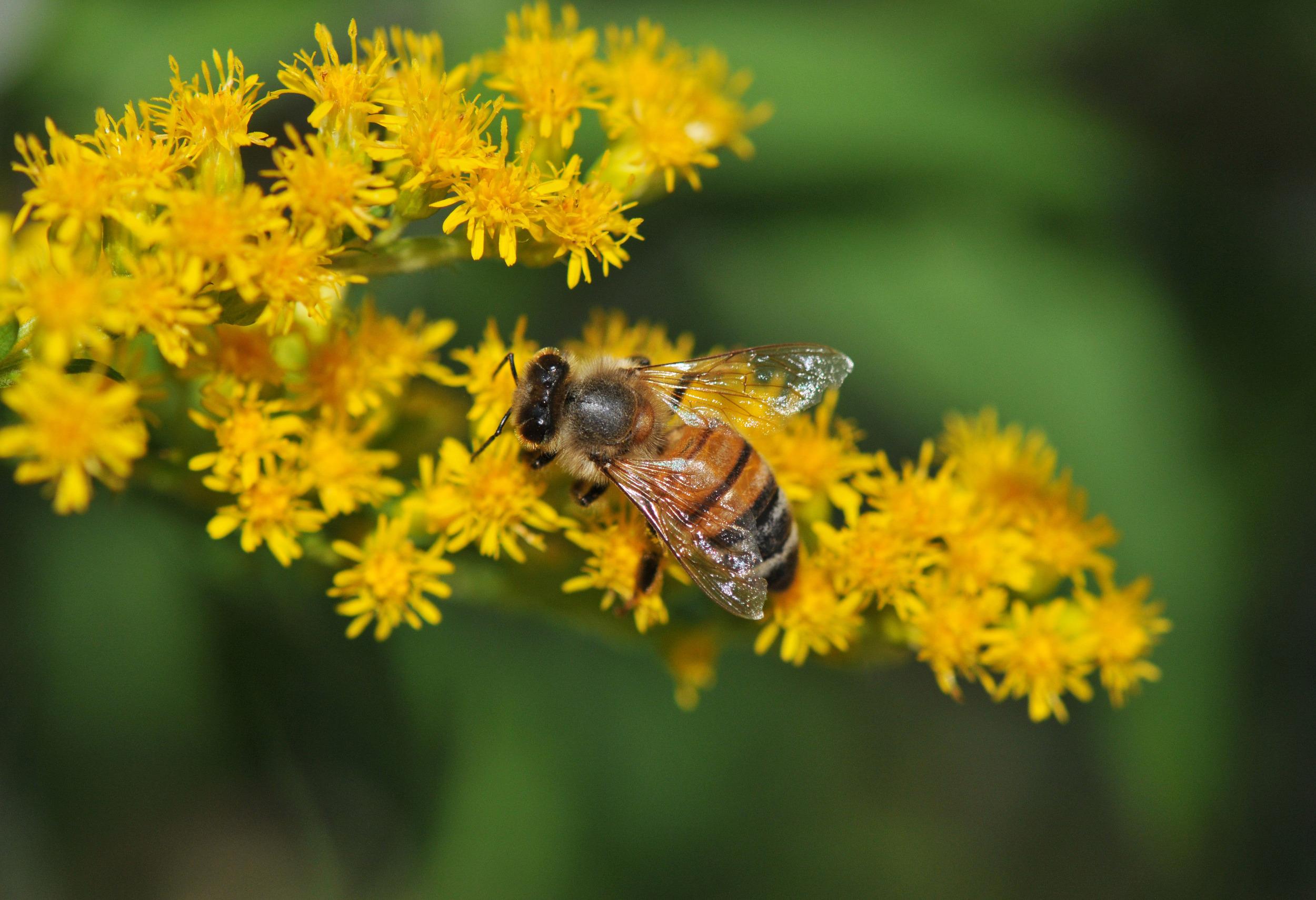 bee-goldenrod-3-1.jpg