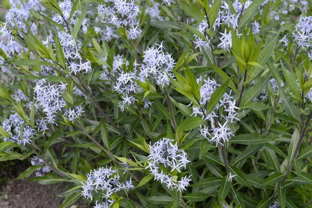 Amsonia hubrichtii (blue star)