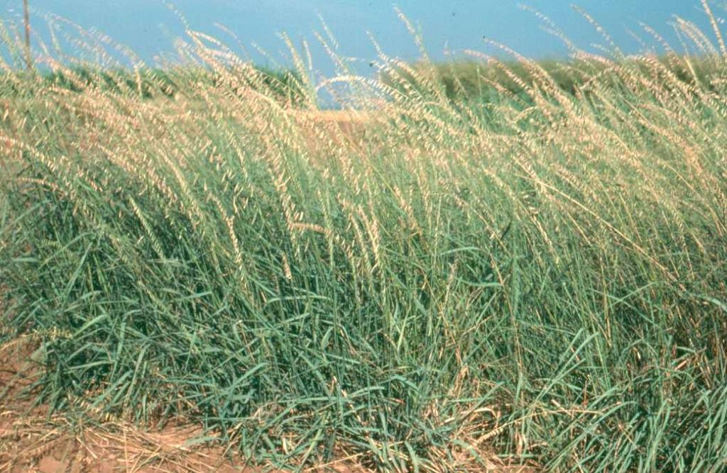 Bouteloua curtipendula (side-oats grass)