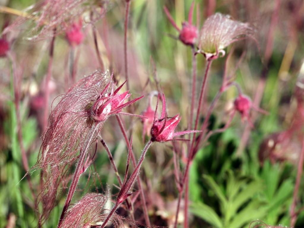 Geum triflorum (prairie smoke flower)