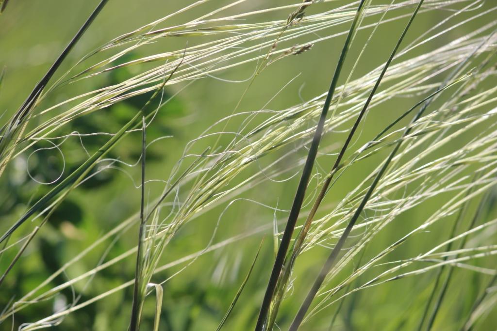 Hesperostipa spartea (porcupine grass)