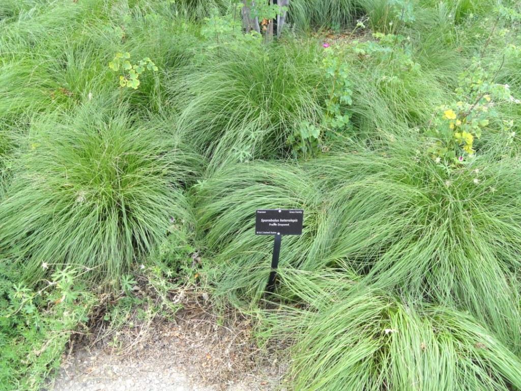 Sporobolus_heterolepis (Prairie Dropseed)