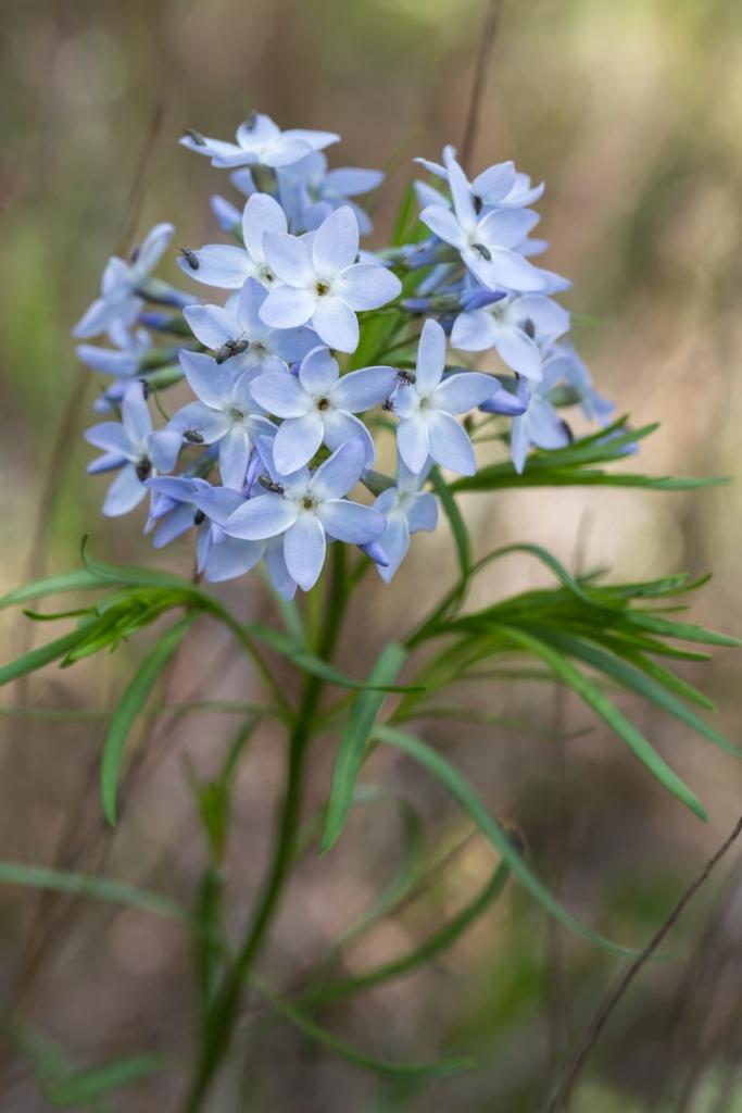 Amsonia ciliata 'Blue Ice' (blue star)