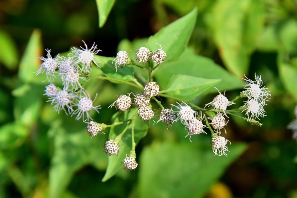 Eupatorium perfoliatum (american boneset)