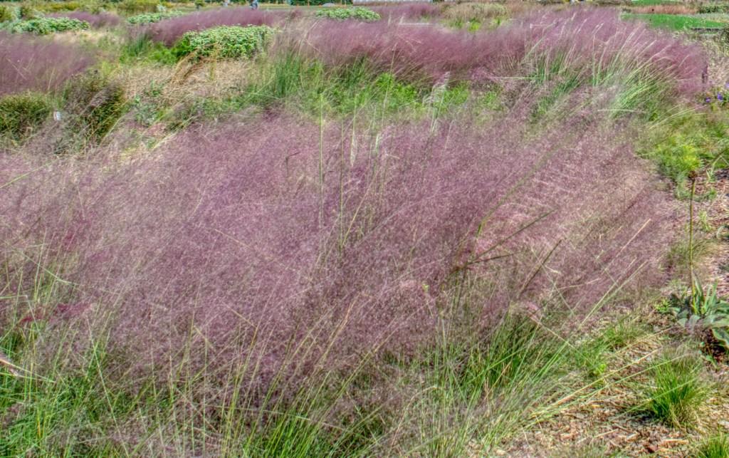 Muhlenbergia reverchonii 'Undaunted'