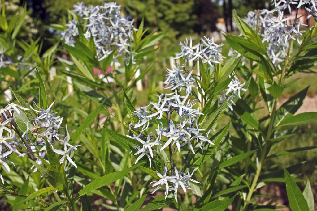 Amsonia tabernaemontana v. salicifolia