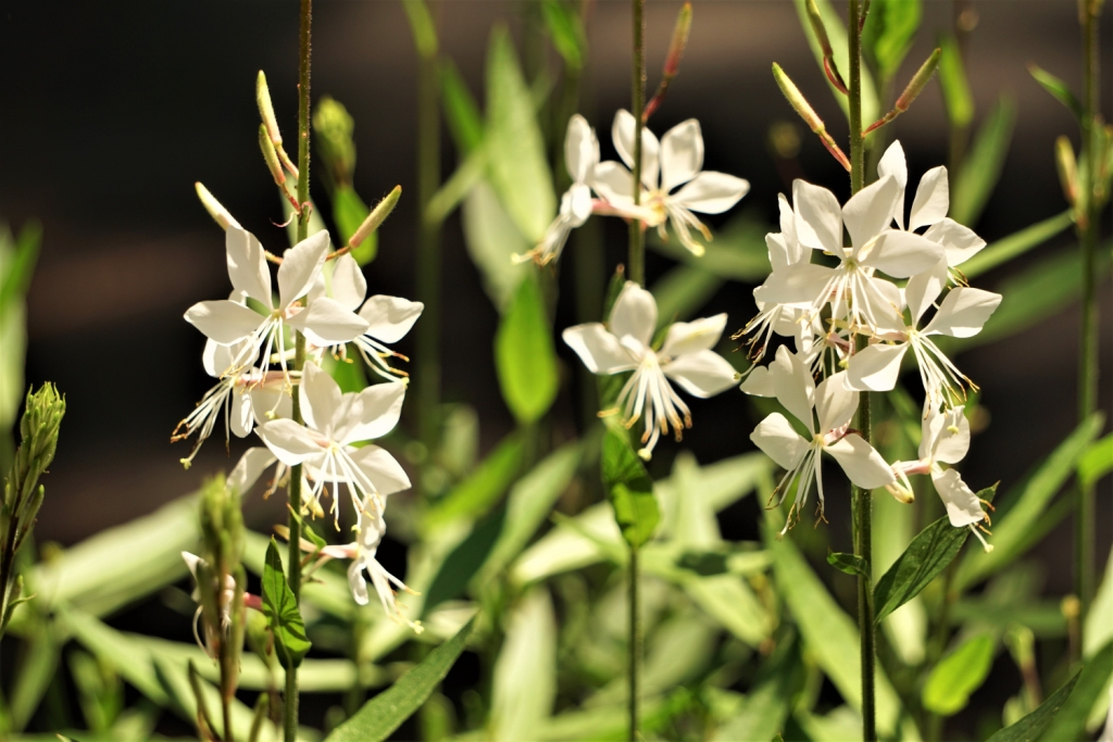 Gaura lindheimeri 'Whirling Butterfly'
