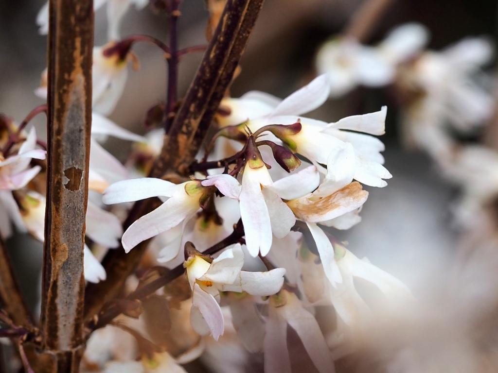 Abeliophyllum distichum (white forsythia)