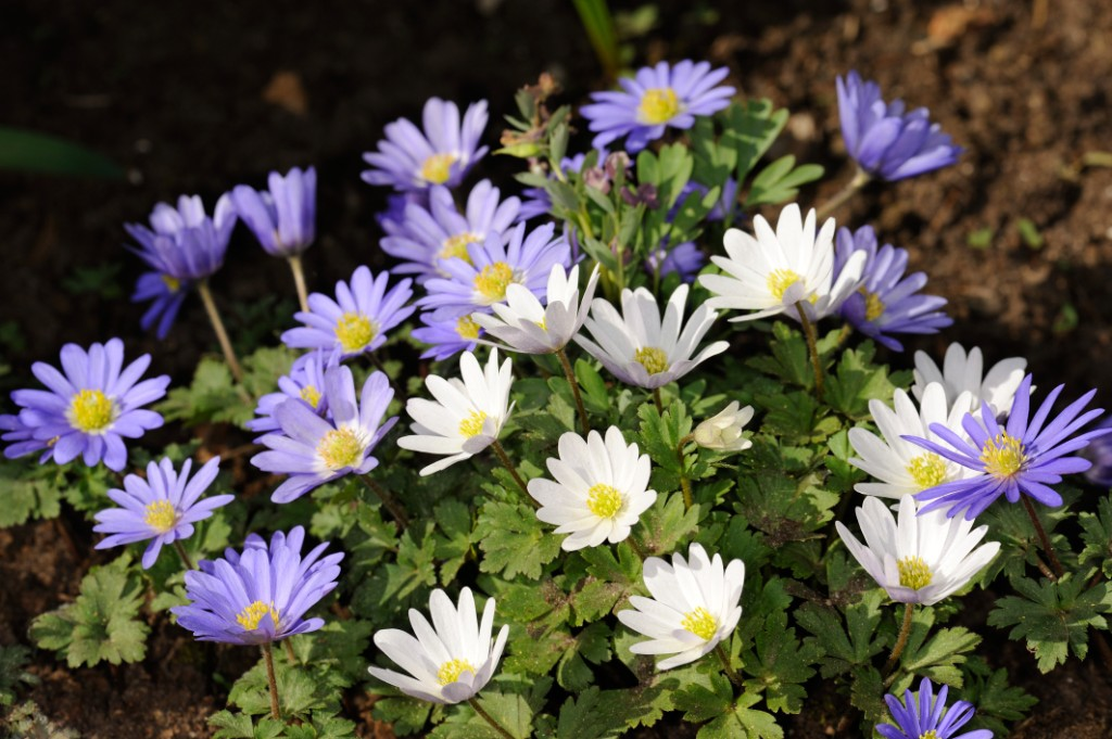 Anemone blanda, white and  blue