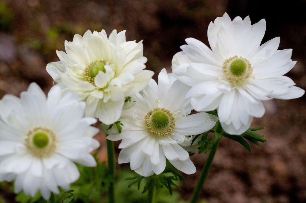 Anemone coronaria 'Mt Everest'
