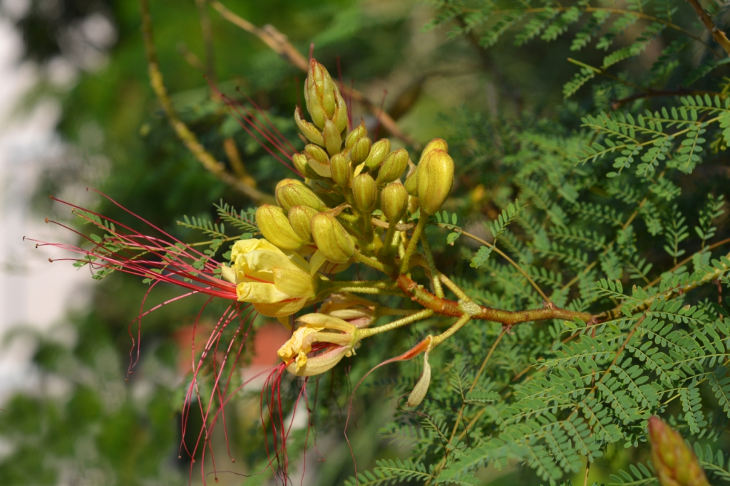 Caesalpinia gilliesii (yellow flower or poinciana)