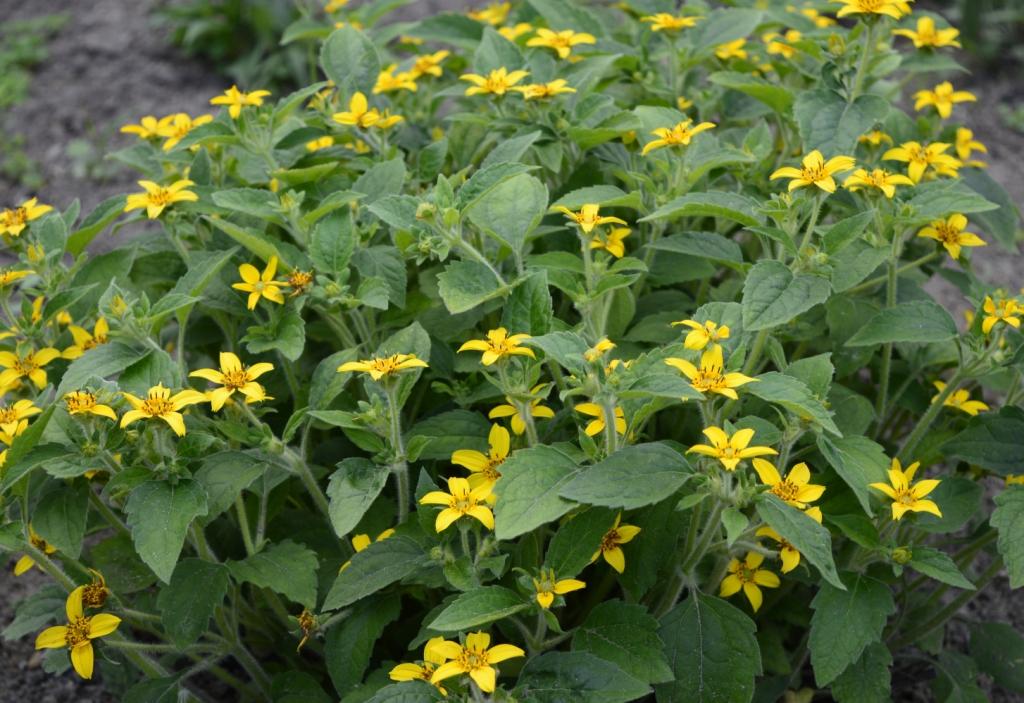 Chrysogonum virginianum