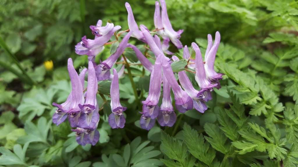 Corydalis solida 'Purple Bird' (fumewort)