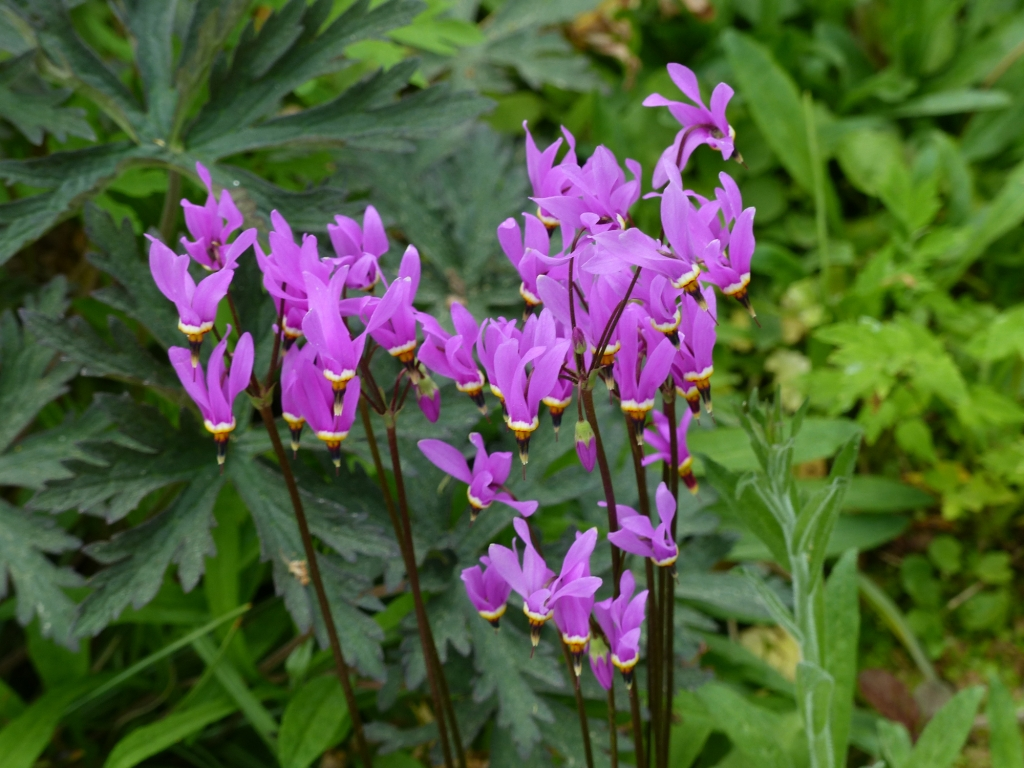 Dodecatheon meadia (shooting star)