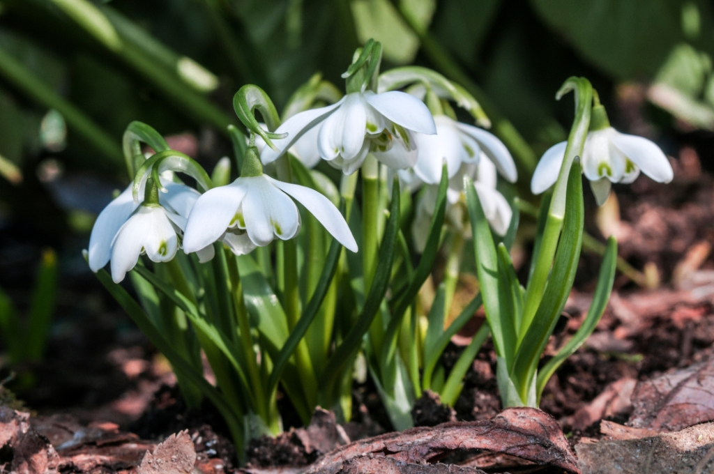 Galanthus nivalis 'Flore-pleno'