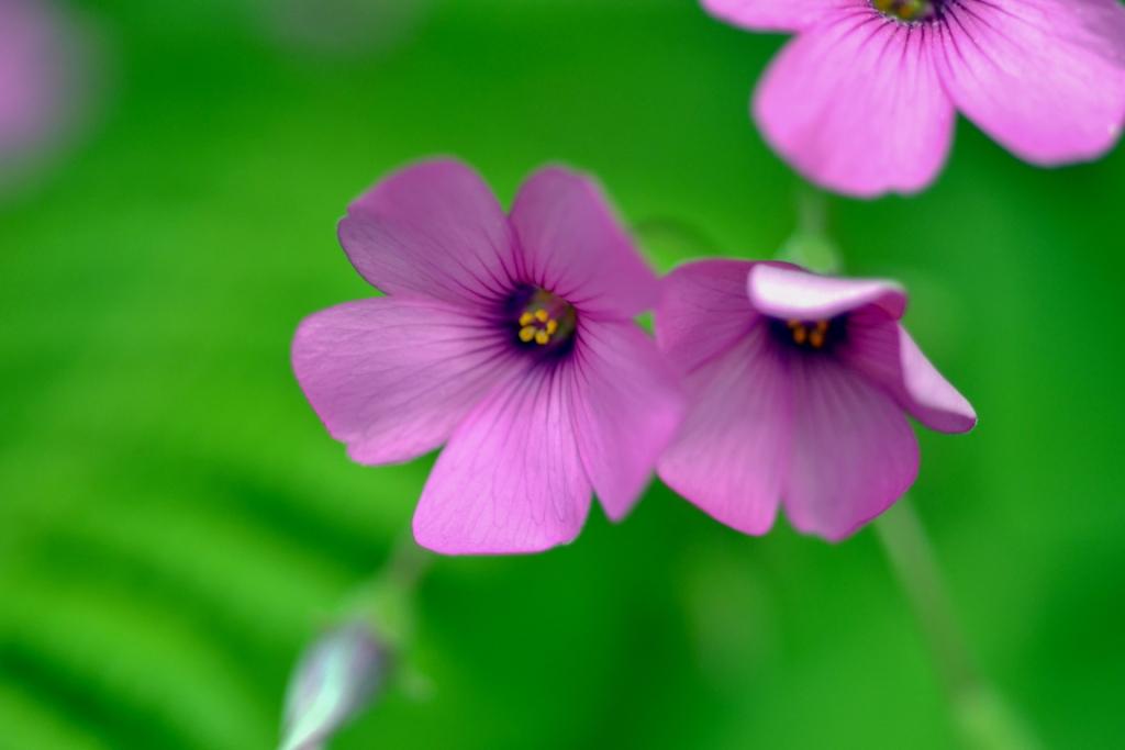 Oxalis violacea (violet wood sorrel)