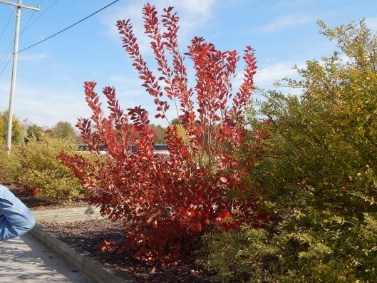 Parrotia subaequalis (chinese ironwood)