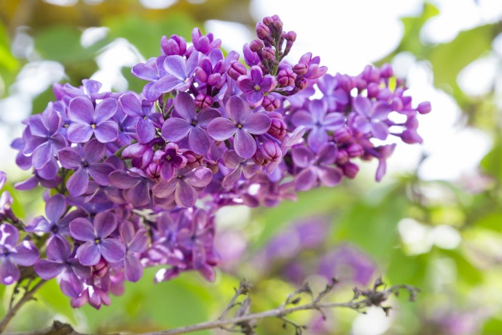 Syringa vulgaris (lilac)