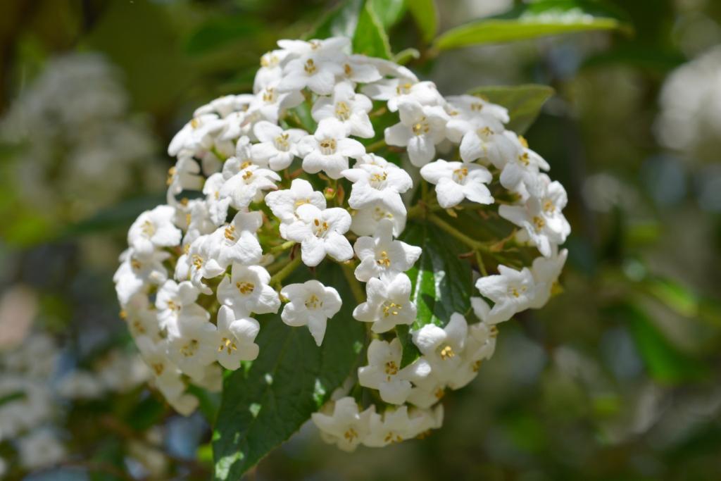 Viburnum carlesii (Korean spice viburnum)