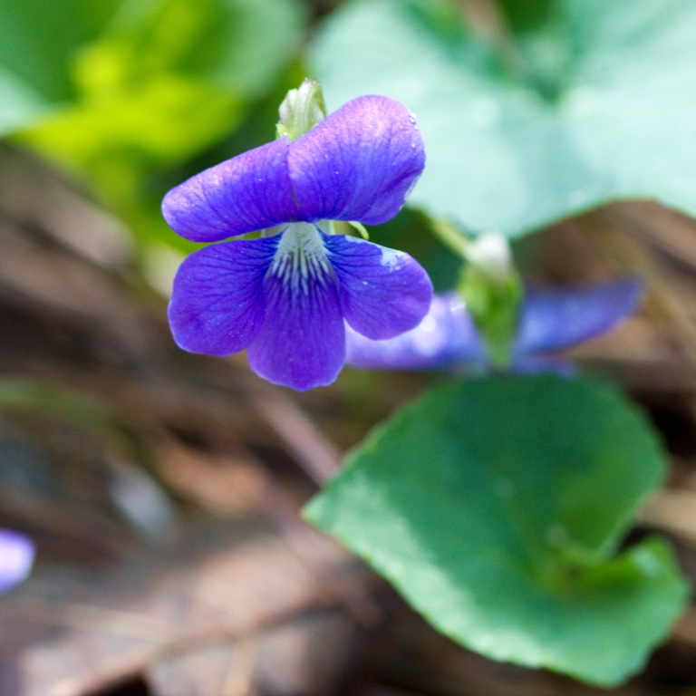 Viola egglestonii (glade violet)