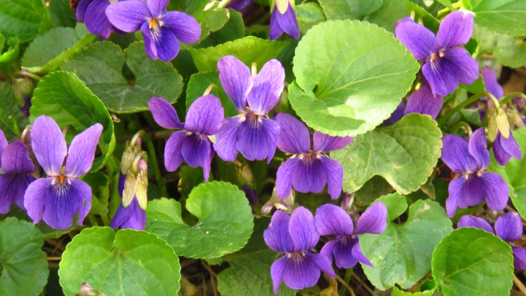Viola odorata (wood violet or sweet violet)