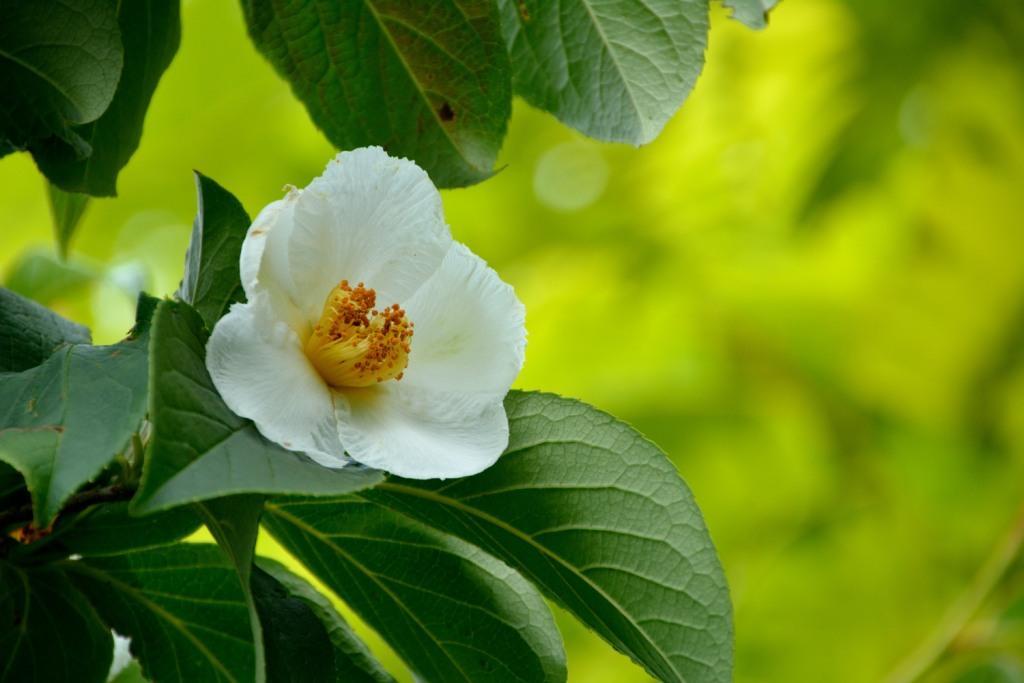 Stewartia pseudocamellia (japanese stewartia)